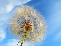 Dandelions faded. White seeds from fading dandelions fly Royalty Free Stock Photography