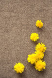 Dandelions on the felt background, nice spring shot Stock Images