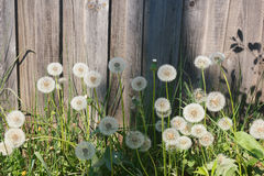 Dandelions at the fence. Seed balls dandelion on the background of high wooden garden fence Royalty Free Stock Photos