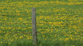Dandelions Fence Wire Post Field Horizontal Pan stock video footage