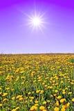 Dandelions on field Royalty Free Stock Photo