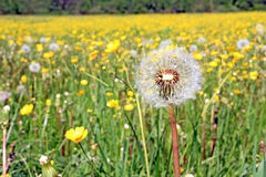 Dandelions on field Royalty Free Stock Images