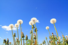 Dandelions on field Royalty Free Stock Photo