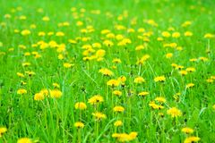 Dandelions field Royalty Free Stock Photo
