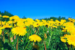Dandelions on field Stock Images