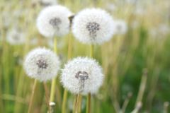 Dandelions in a field Stock Photography