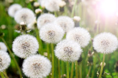 Dandelions in field Royalty Free Stock Image