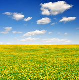 Dandelions field. Dandelions in the meadow with blue sky Stock Image