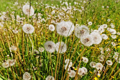 Dandelions field. Royalty Free Stock Photos