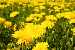 Dandelions field Royalty Free Stock Image