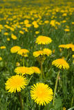 Dandelions field. Stock Photo