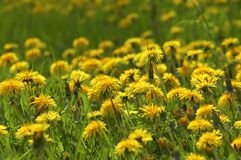 Dandelions field. The dandelions always gives me the feeling of spring time stock photo