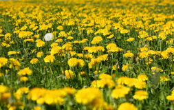Dandelions field Royalty Free Stock Photos