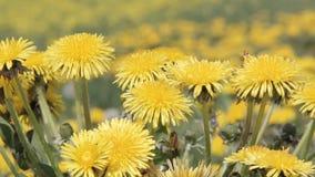 Dandelions Field Background On sunny Day. Blooming Dandelion. Yellow Dandelion Flowers Taraxacum Officinale stock footage