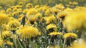 Dandelions Field Background On sunny Day. Blooming Dandelion. Yellow Dandelion Flowers Taraxacum Officinale stock video footage