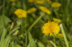 Dandelions in field Stock Photo