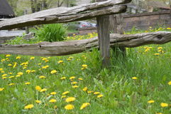 Dandelions in a field and flowers and wooden barriers. Dandelions in a garden in the lawn. Field of dandelions. Return of spring. Weeds in the garden. Wooden Stock Photo