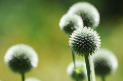 Dandelions in a field of green. Royalty Free Stock Photography