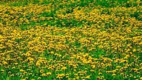 Dandelions field meadow backround, texture Royalty Free Stock Photo