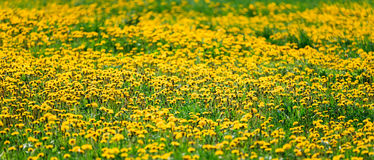 Dandelions field meadow panoramic backround Stock Photography