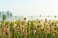 Dandelions field with morning rays of sunlight. Outdoors sunrise Royalty Free Stock Image