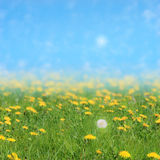 Dandelions Field with Soft Sky. Dandelion field with a softly shifting sky and a sun that seems to be the mirrored part from the white bud royalty free stock photography