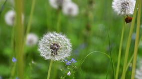 Dandelions in field. Royalty Free Stock Photo