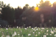 Dandelions field Royalty Free Stock Photography