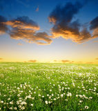 Dandelions field Royalty Free Stock Image