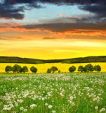 Dandelions field in the sunset. Stock Photography