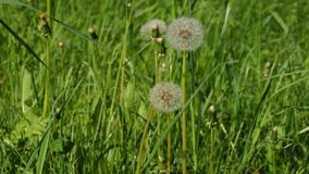 Dandelions in the field stock footage