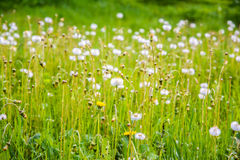 Dandelions in a field. White, fluffy flowers. The summer landscape. Background is good. Summer nature. The yellow flowers Royalty Free Stock Photography