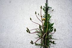 Dandelions flowering plants with buds growing in line in crack of wall with white plaster, vertical background close up. Detail stock images