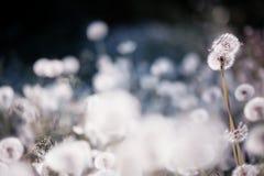 Dandelions flowers Stock Photo