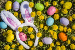 Dandelions flowers with Easter eggs. Fuzzy Easter bunny ears with pink gingham checks sitting in grass surrounded with colored Easter eggs and dandelion flowers Royalty Free Stock Image