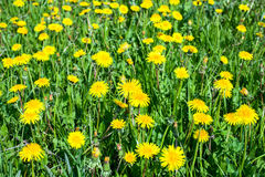 Dandelions flowers on green field, close-up Royalty Free Stock Photos