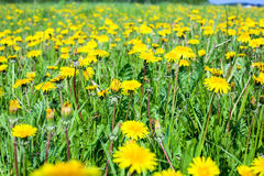 Dandelions flowers on green meadow, close up Royalty Free Stock Photography