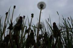 Dandelions fluff backlight photo stock image