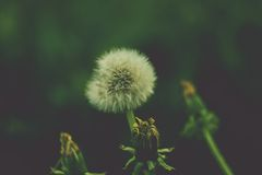Dandelions fluff. Green backgroung. Vintage Stock Photo
