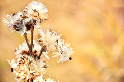 Dandelions. Fluffy was blown away by the wind Royalty Free Stock Photos