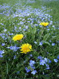 Dandelions and Forget Me Nots Stock Photo
