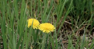 Dandelions in the fresh green grass of spring meadow. Yellow dandelion flowers on background of green grass moving on stock video