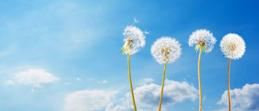 Dandelions in front of blue sky with clouds stock image