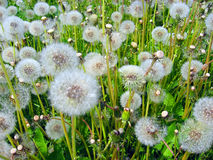 Dandelions. Fruiting in the meadow Royalty Free Stock Photo