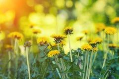 Dandelions gazon zdjęcie royalty free