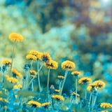 Dandelions gazonu tło obrazy royalty free