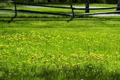 Dandelions in the Grass. Yellow dandelions in the green grass in the spring royalty free stock image