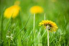 Dandelions in the grass Royalty Free Stock Photography