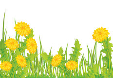 Dandelions in grass Royalty Free Stock Photo