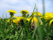 Dandelions in Grass Stock Photography